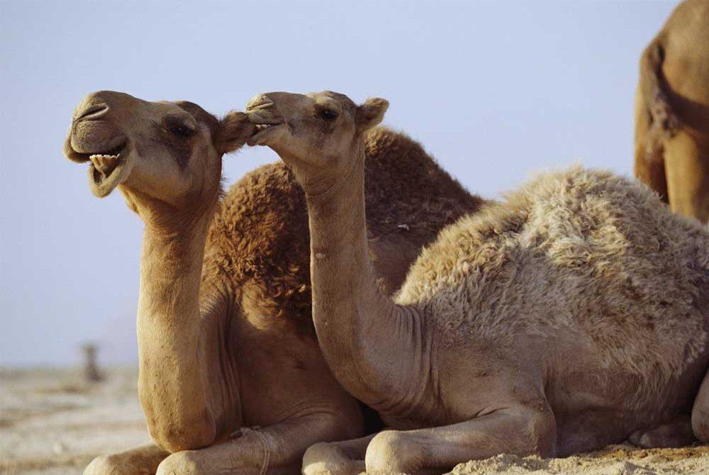 ทำไมอูฐถึงอยู่ในทะเลทรายได้