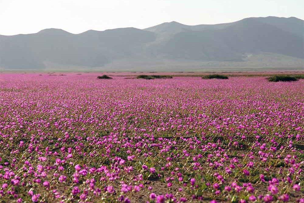 ดอกไม้ที่ขึ้นในทะเลทราย